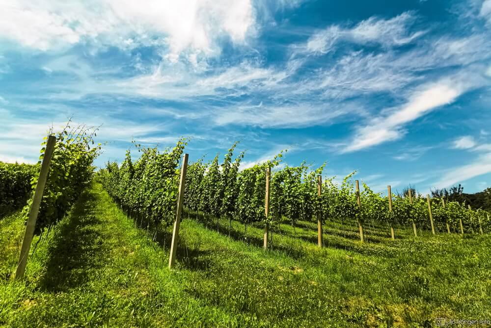 O korona krizi na hrvatskom vinskom nebu