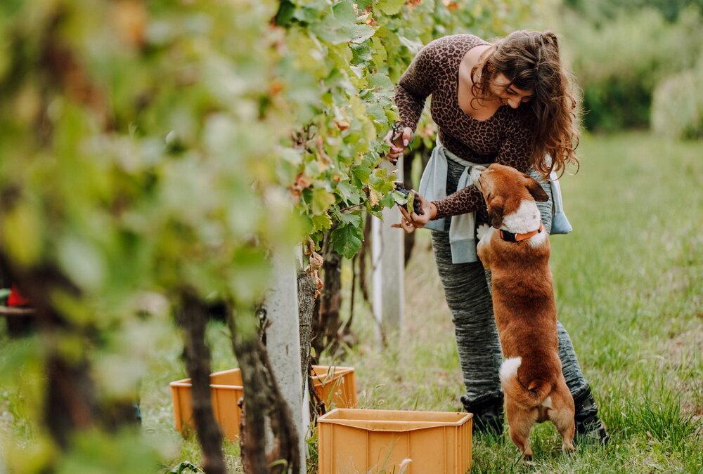 U vinogradima Lovrec održana je prva eko berba grožđa u Međimurju!